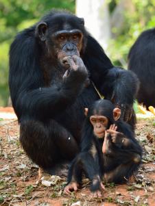 Chimpanzee-oyako